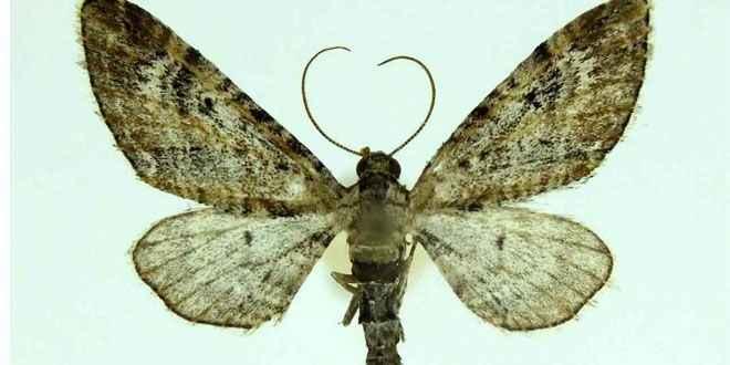 Tatvan'da bulunan yeni güve türüne 'Nemrut' adı verildi