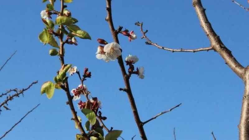'Pastırma Yazı' kayısı ağacına çiçek açtırdı