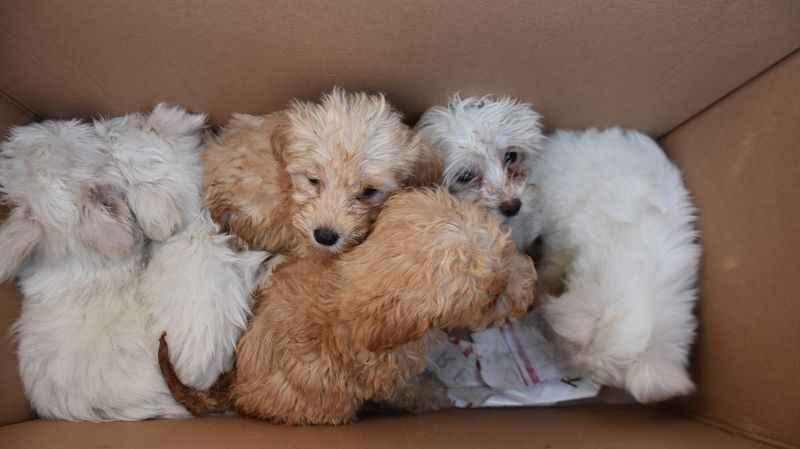 Kapıkule'de 14 yavru köpek ele geçirildi