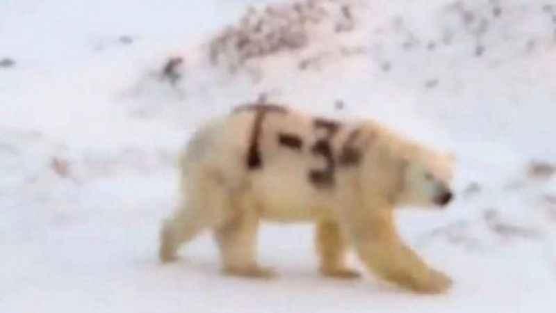 Kutup ayısının üzerine T-34 yazdılar
