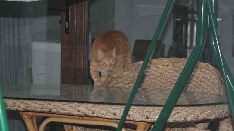Sokak kedisi terör estiriyor! Hastanelik olduk