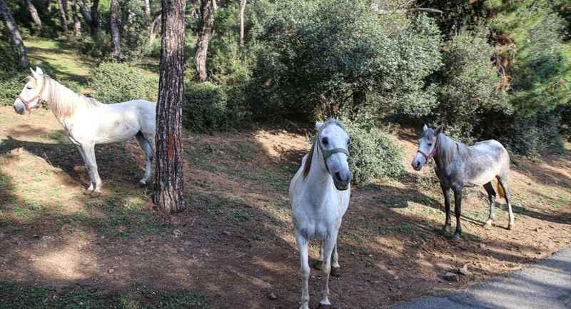 Adalar Kaymakamlığı'ndan 105 atın sahibi 64 kişi hakkında suç duyurusu