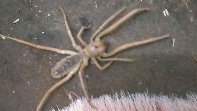 """Bingöl'de  """"Sarıkız"""" örümceği görüldü"""