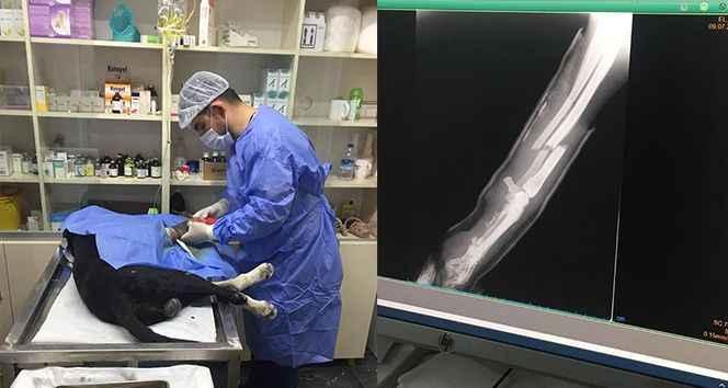 Trafik kazasında yaralanan köpeğin ayağına platin takıldı