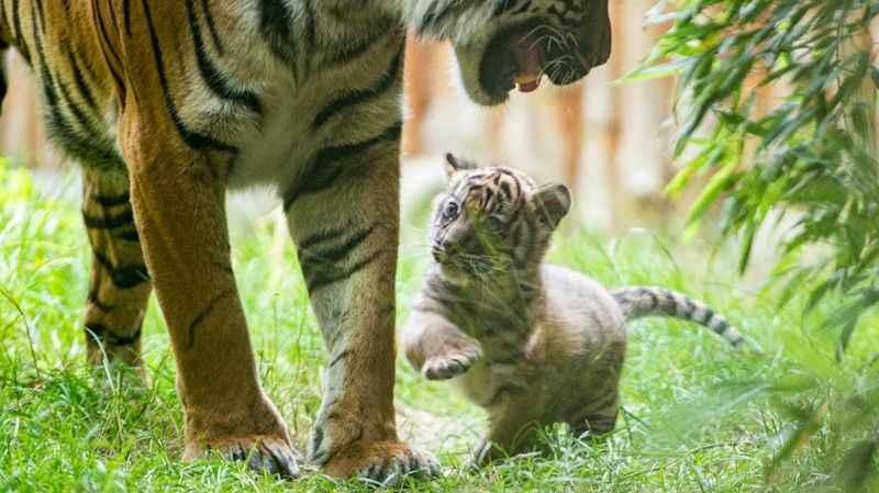 Nesli tükenmekte olan Sumatra kaplanı dünyaya geldi