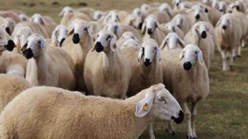 Koyun yünü yapıştırılan keçiyi kurbanlık koyun diye sattılar