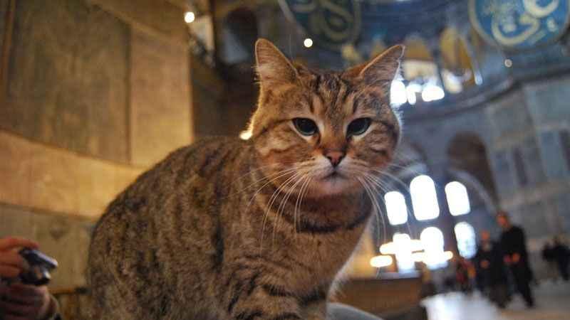 Ayasofya Camii'ndeki kedi Gli'nin sağlığı tehlike altında