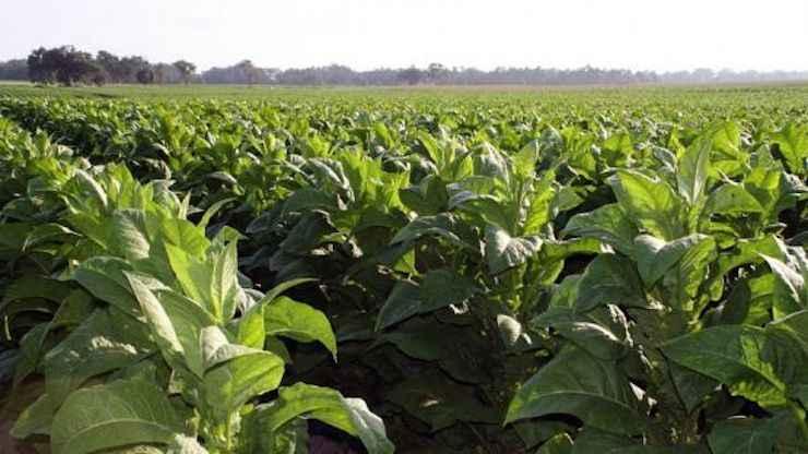 Kriz çiftçiyi vurmaya devam ediyor! Tütün ekmeyi bırakıyorlar