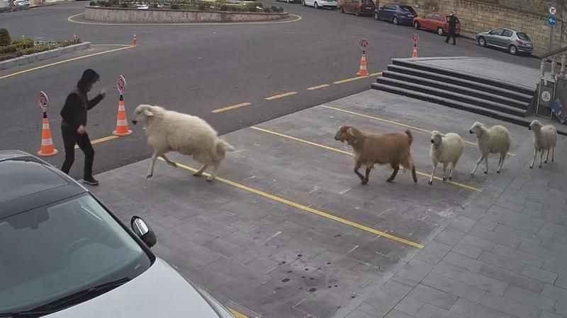 Nevşehir'de keçi saldırısı! Vatandaşlar zor anlar yaşadı