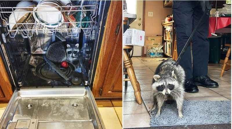 Eve giren rakun, bulaşık makinesinde uyurken yakalandı