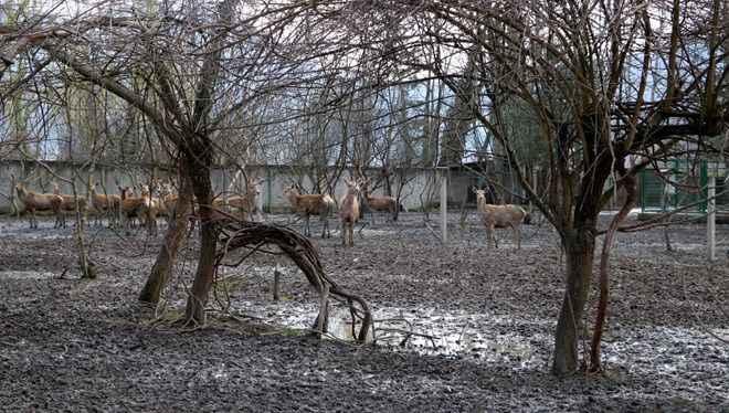 Hayvanat bahçesinden çalınıp yenen geyiğin bakıcısından açıklama