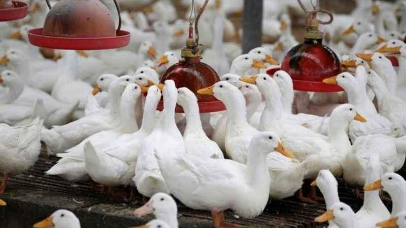 Danimarka'da yeni salgın gerilimi! 19 bin kaz ve ördek itlaf edilecek