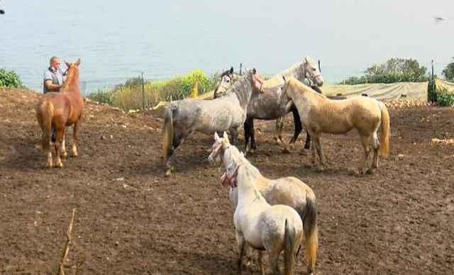 Kayıp atları savcılığa bildiren Veteriner İşleri Müdürü'ne soruşturma