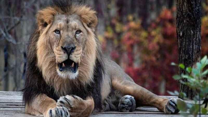 Hindistan'da 8 aslan koronavirüse yakalandı