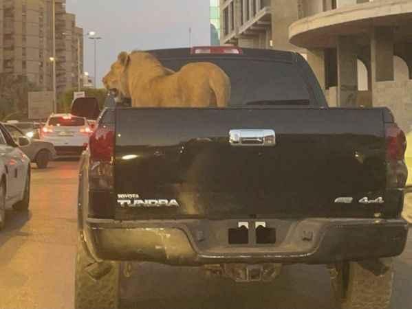 Trafikte şoke eden görüntü: Araçtaki aslan hayrete düşürdü