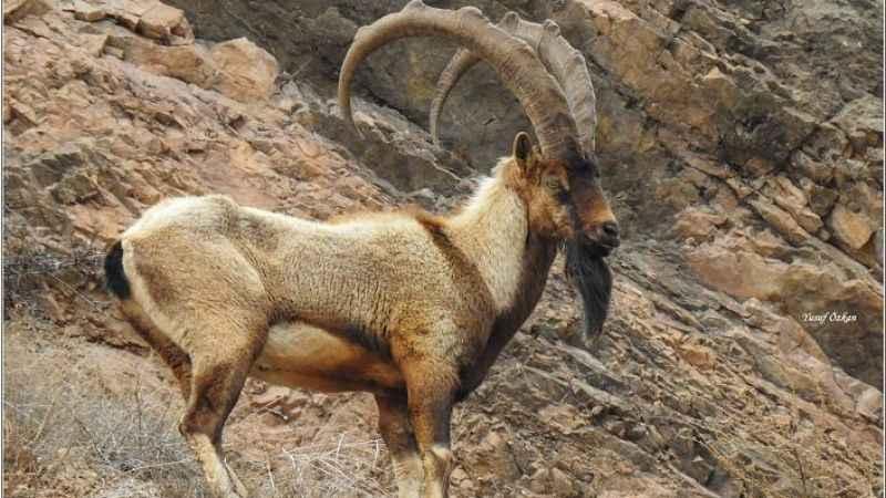 Tarım ve Orman Bakanlığı'nın yaban keçisinin öldürülmesi için açtığı ihale tepki topluyor.