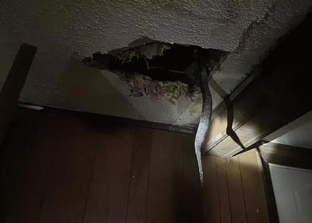 Tavandan yılanlar döküldü! İşte dehşete düşüren o anlar...