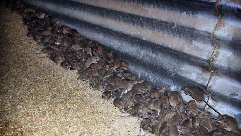 Kedileri zehirleyen Avustralya'da fare istilası!