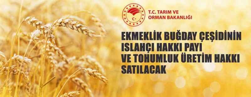 Buğday çeşidinin ıslahçı hakkı payı ve tohum üretim hakkı satılacak