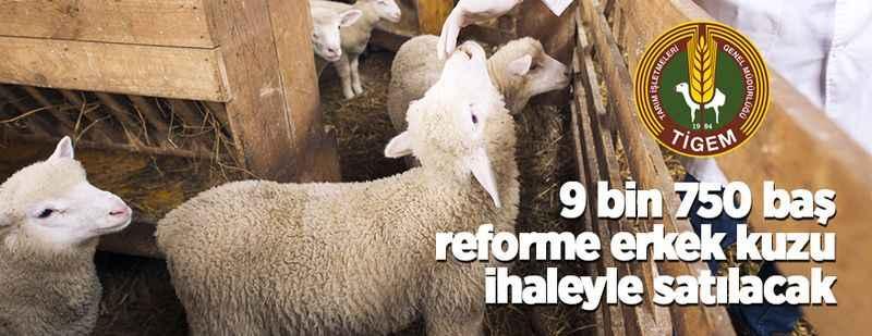 9 bin 750 baş reforme erkek kuzu ihaleyle satılacak