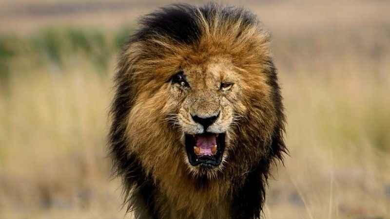 Dünyanın en ünlü aslanı öldü!