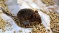 Avustralya dev farelerin istilasına uğradı! Dükkanlarda tuzak kalmadı