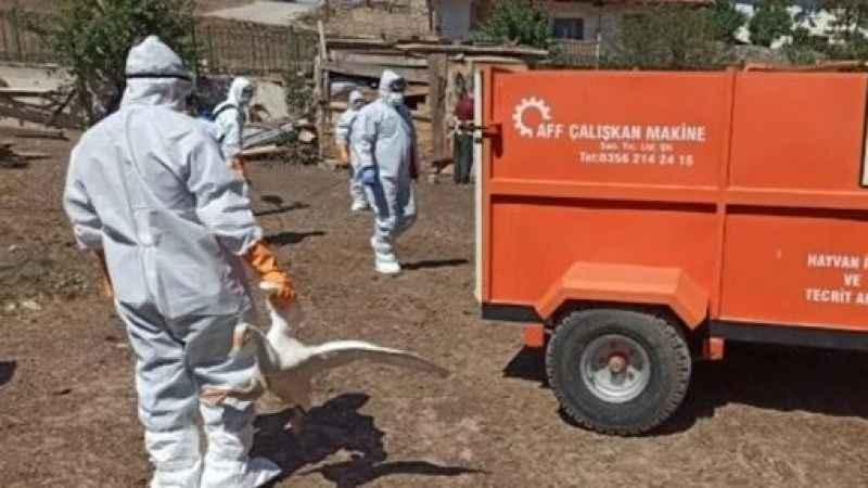 Tokat'ta kuş gribi tedirginliği: 200 kaz itlaf edildi
