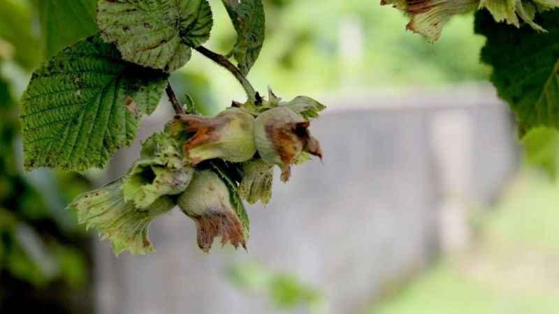 Fındık hasat tarihleri açıklandı