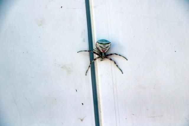Hemen telefonuna sarıldılar! İnsan yüzlü örümcek hayrete düşürdü