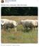 Abdurrahman Dilipak'ın ilginç paylaşım: Bunlar koyun mu?