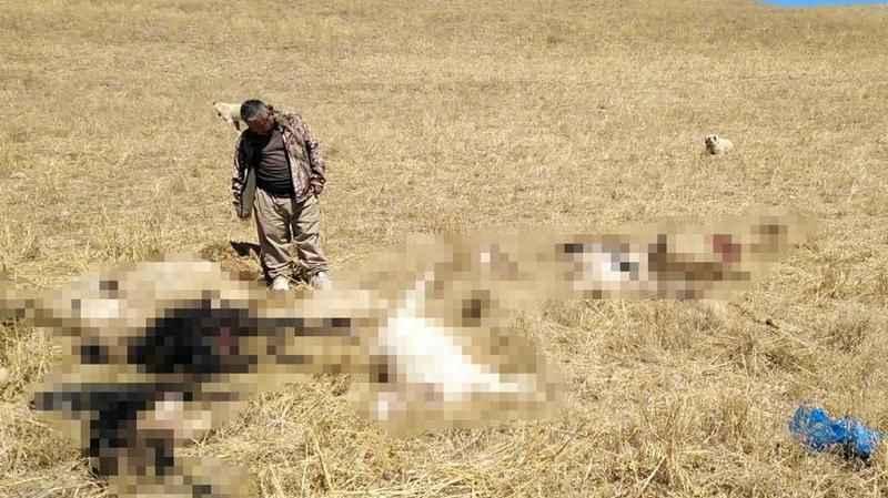 Kurtlar sürüye saldırdı, 30 küçükbaş öldü
