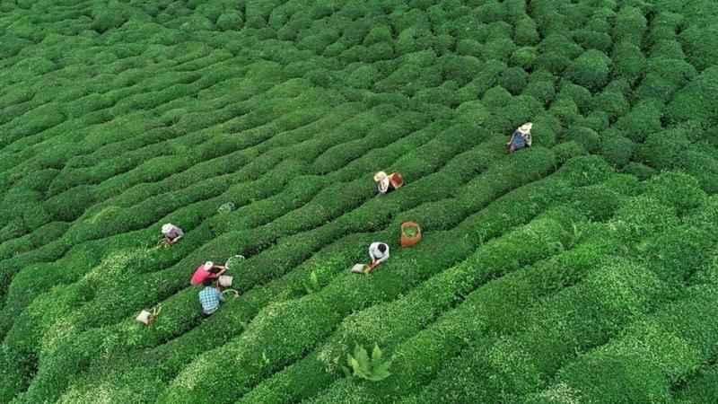 Çay üreticisinin sesine kulak kapatılıyor