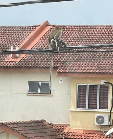 Maymun çeteleri yiyecek için evcil hayvanları rehin alıyor!