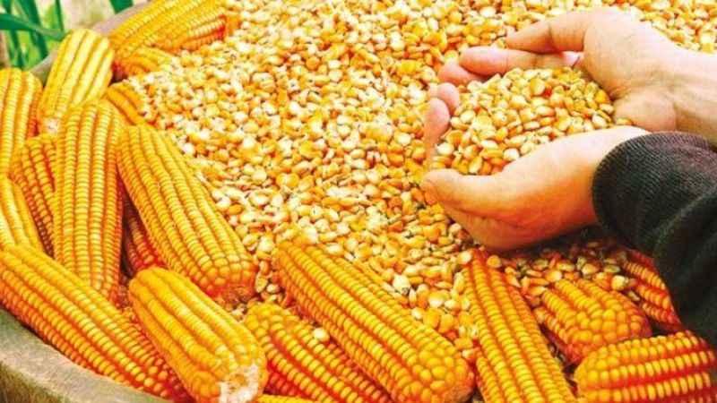 TMO'dan tepki çeken adım! 325 bin ton mısır ithal edilecek