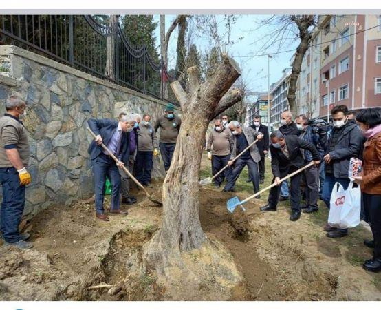 TÜNEL İNŞAATINDAN KURTARILAN ASIRLIK ZEYTİN AĞAÇLARI İSTANBUL'DA HAYAT BULDU