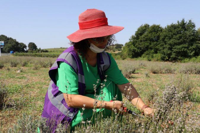 İzmit Belediyesi'nin lavanta bahçesinde hasat başladı
