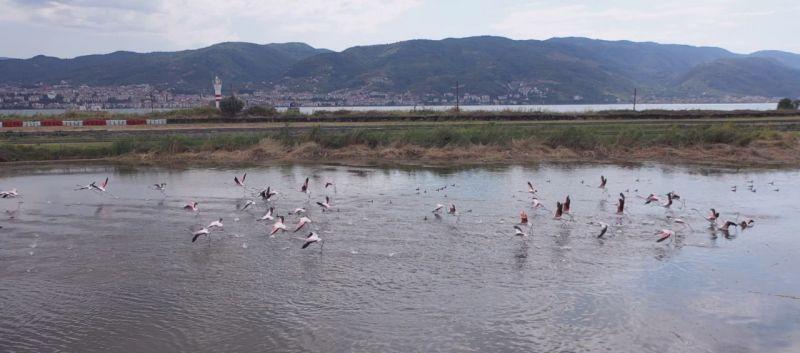 Fener Gölü, flamingoların dinlenme alanı oldu