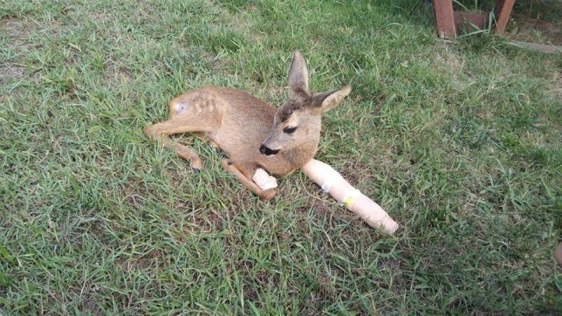 Ayağı kırılan yavru karaca bakıma alındı