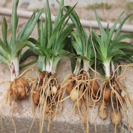 İzmit'te yeni tarım hamlesi, salep üretimi yapılacak