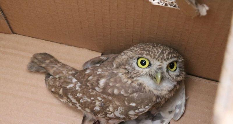 Kukumav kuşu doğaya salındı