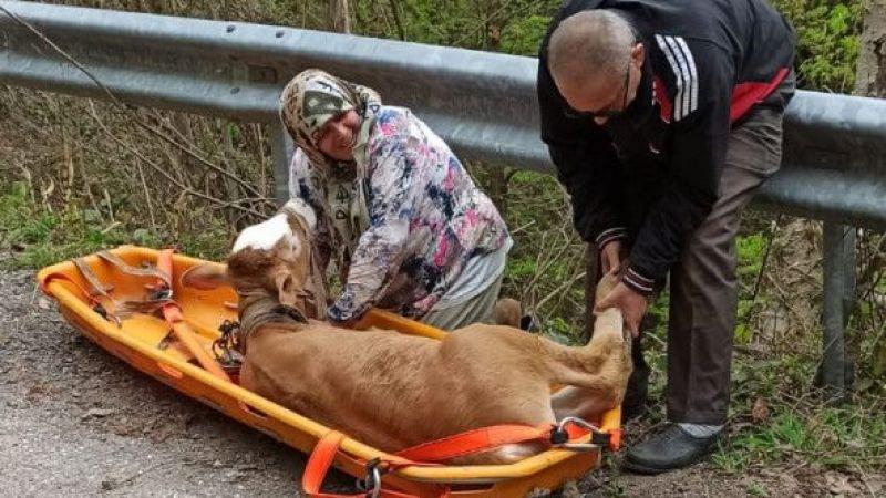 Uçuruma yuvarlanan inek sedye yardımıyla kurtarıldı
