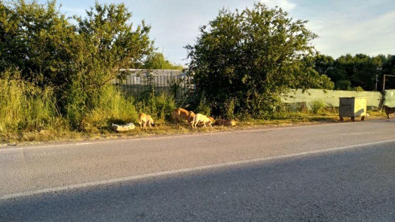 Kerpe-Kumcağız yolundaki köpekler vatandaşı tedirgin ediyor!