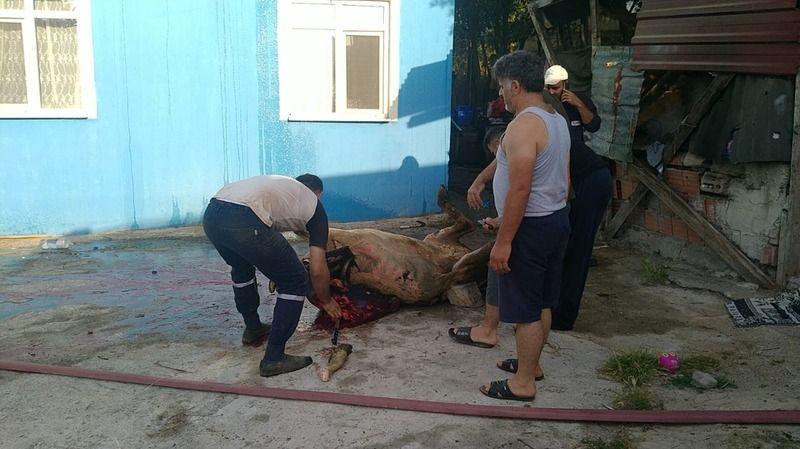 Ahır yangınında vücudunun büyük bölümü yanan inek, kesildi