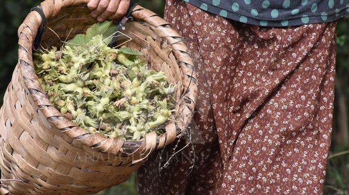 Kandıra'da fındık hasadı başlıyor