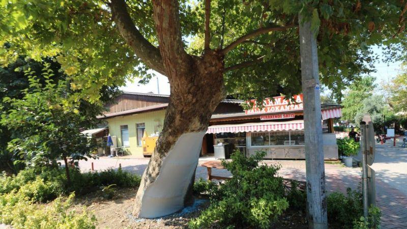 Tarihi çınar ağaçlarının bakımları tamamlandı!