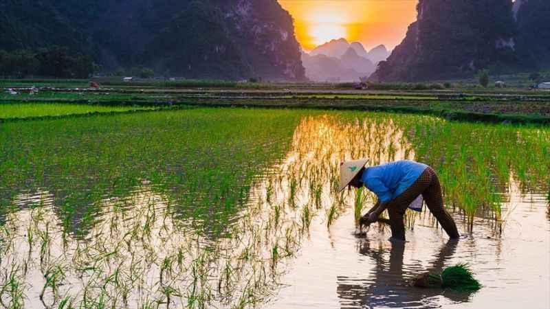 Nükleer felaketin yaşandığı kasabaya pirinç ekildi