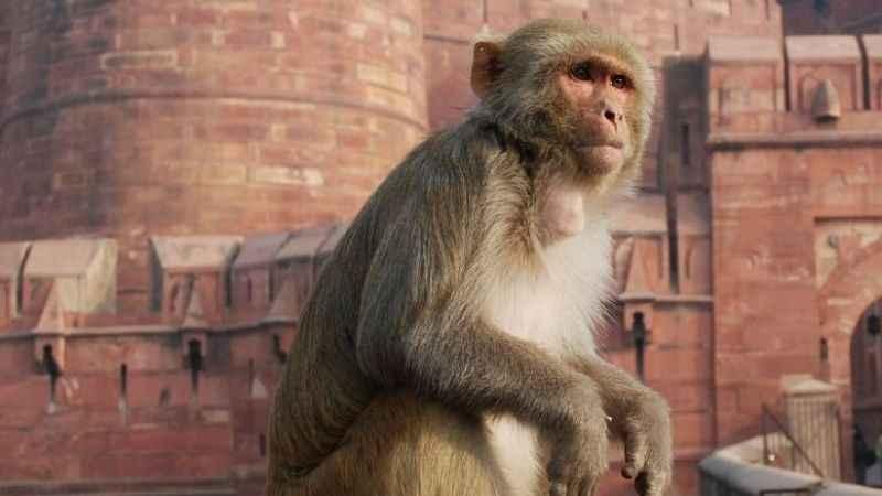 Maymunlar 4 çocuk ve annelerinin ölümüne sebep oldu