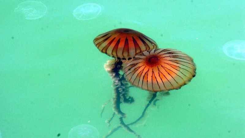 Müsilajdan sonra dev denizanaları da gelir mi?