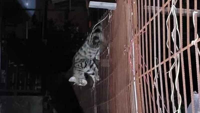 Yavru kedinin karnına tel saplandı!