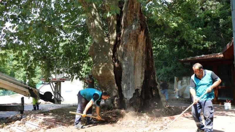 İzmit'teki asırlık Çınar ağacının bakımı yapılıyor